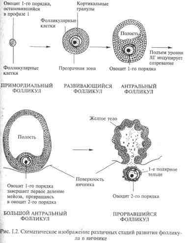 Сперматогенезу статеві залози у яких відбуваеться процес
