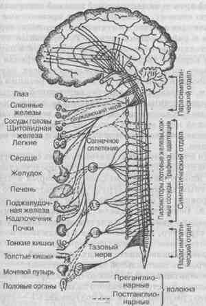 Схема висцеральной иннервации